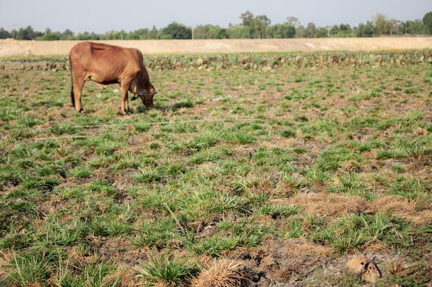 Veld en koe in zonlicht.