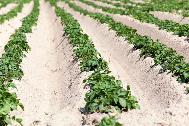 Veld met aardappel selskohozyaysvtennoe veld waarop groene onrijpe aardappelplanten groeit. zomertijd