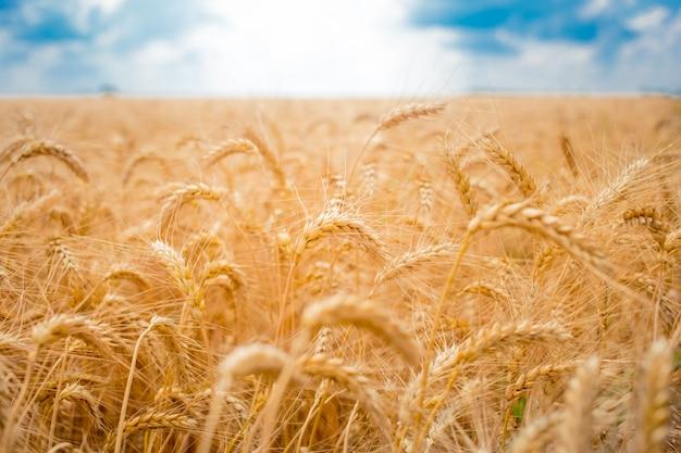 Veld met aartjes van tarwe en blauwe hemel