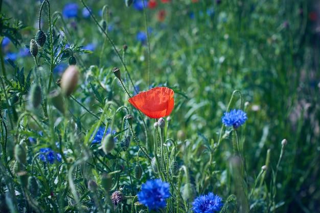 Veld met blauwe korenbloemen en rood bloeiende klaprozen en groene bladeren