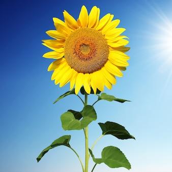 Veld met bloeiende zonnebloemen op blauwe lucht