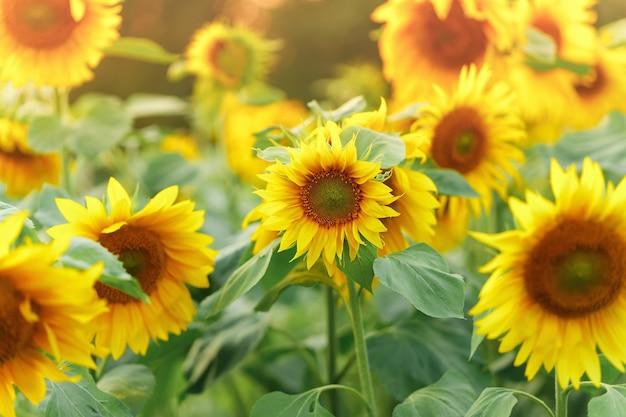 Veld met bloeiende zonnebloemen op zonsondergang. bloem natuur achtergrond.