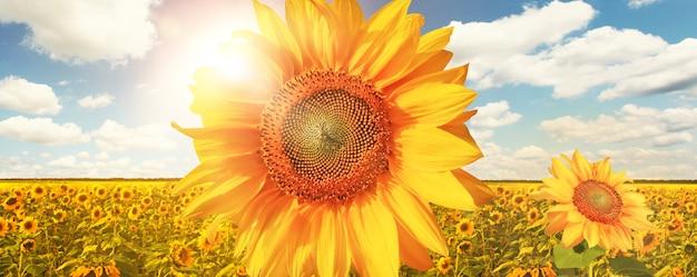 Veld met bloeiende zonnebloemen
