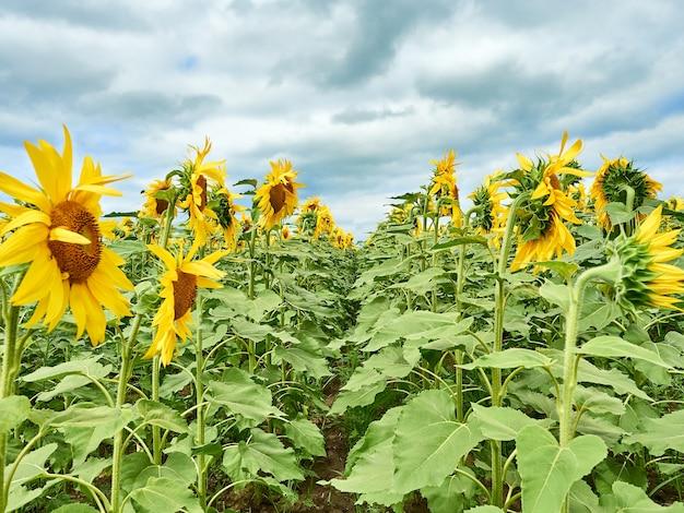 Veld met felgele zonnebloemen.