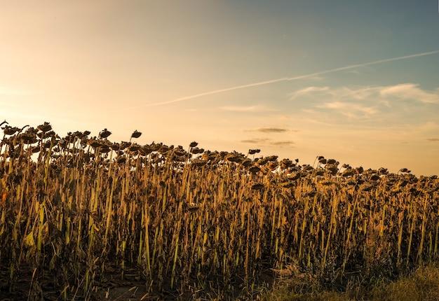 Veld met gedroogde zonnebloemen in de avond