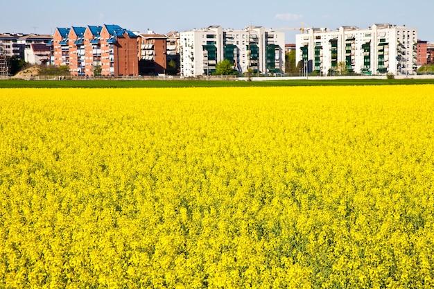 Veld met gele bloemen in het voorjaar dicht bij de grens van de stad