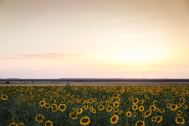 Veld met gele zonnebloemen