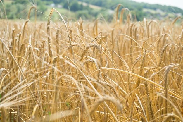 Veld met gouden rijpe oren van tarwe