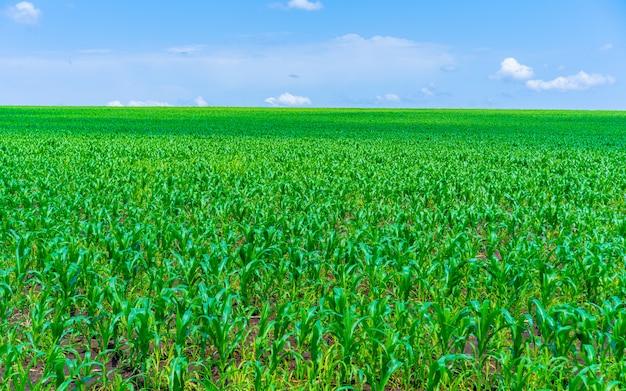 Veld met groeiende maïs tegen de hemel