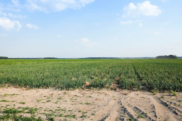 Veld met groene uien agrarisch veld waarop groene uien opgroeien, zomer, augustus. ui met verschillende deffekt