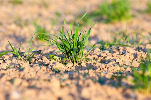 Veld met jonge tarwe gefotografeerde close-up van groene tarwespruiten tijdens het begin van hun groei in de lentetijd van het landbouwgebied