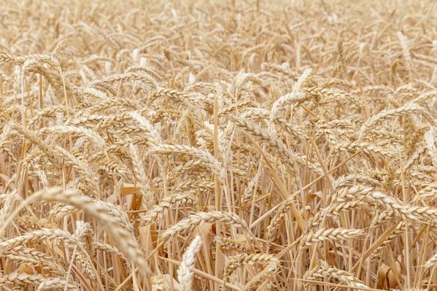 Veld met korenaren tarwe close-up groeiende, landbouw landbouw platteland economie agronomie concept