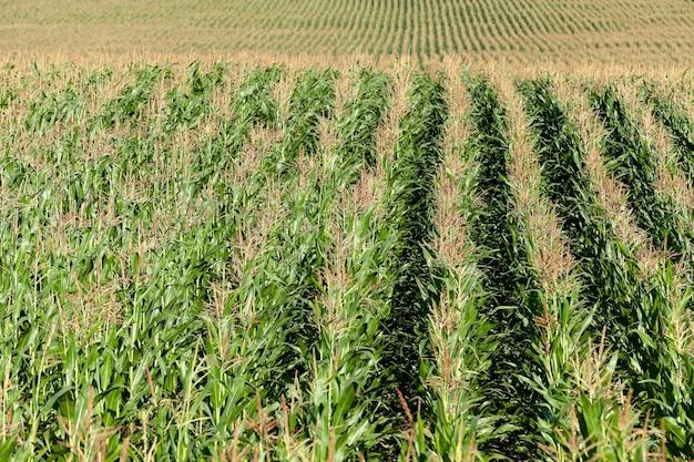 Veld met maïs - een landbouwveld, dat jonge groene maïs groeit. onrijpe maïs