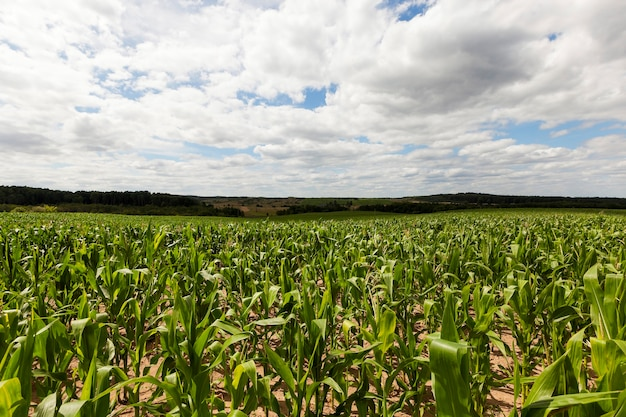 Veld met maïs - landbouwveld waarop groene maïs groeit, binnenkort om te rijpen