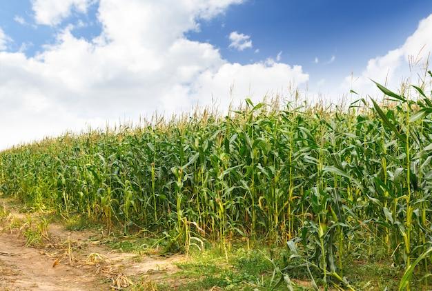 Veld met maïs onder blauwe lucht en wolken