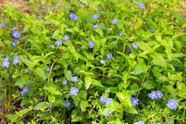 Veld met nemophila-bloemen, kleine en blauwe bloemen op een zomerdag