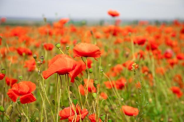 Veld met prachtige rode papavers. prachtig landschap