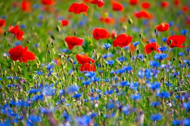Veld met rode papavers en blauwe korenbloemen