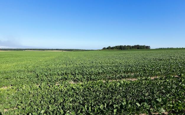Veld met suikerbieten - het landbouwveld waarop groene bieten groeien voor de suikerproductie