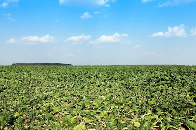 Veld met suikerbieten landbouwveld waarop bieten groeien voor de suikerproductie, suikerbieten