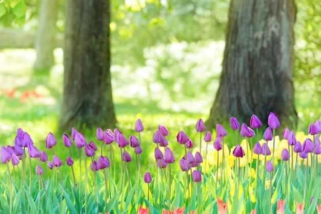 Veld met veel lila tulpen in het groene park met zonlicht
