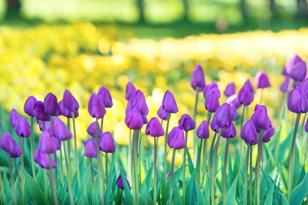 Veld met veel lila tulpen in het groene park