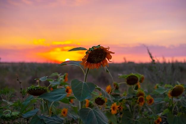 Veld met zonnebloemen bij zonsondergang. avond dorpslandschap.