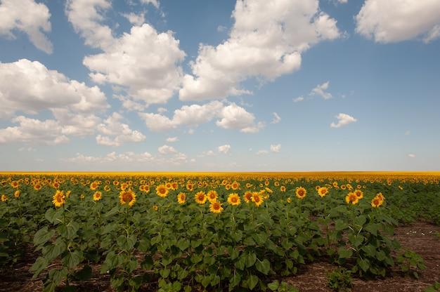 Veld met zonnebloemen en blauwe zonhemel.