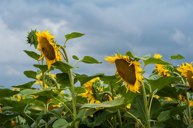 Veld met zonnebloemen en de lucht voor de storm