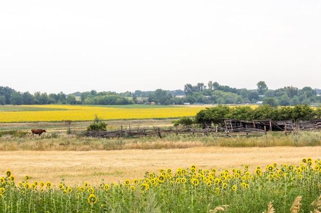 Veld met zonnebloemen en tarwe. zomer veld. oude hek in het veld