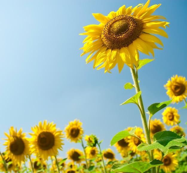 Veld met zonnebloemen tegen de blauwe hemel