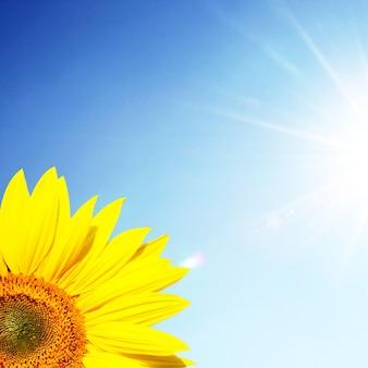 Veld van bloeiende zonnebloemen op een achtergrond blauwe lucht