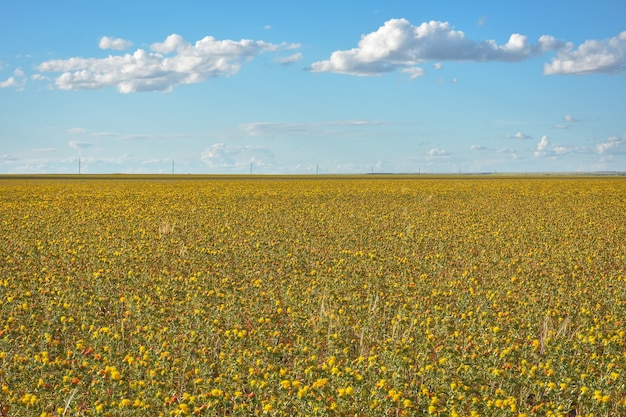 Veld van gele stekelige bloemen