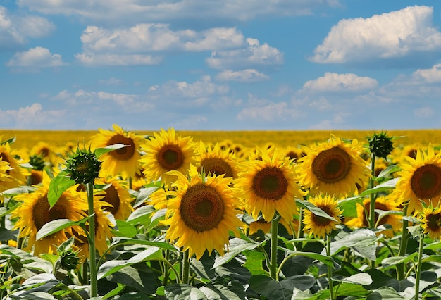 Veld van gele zonnebloemen die groeien onder blauwe bewolkte hemel, hoge hoekmening