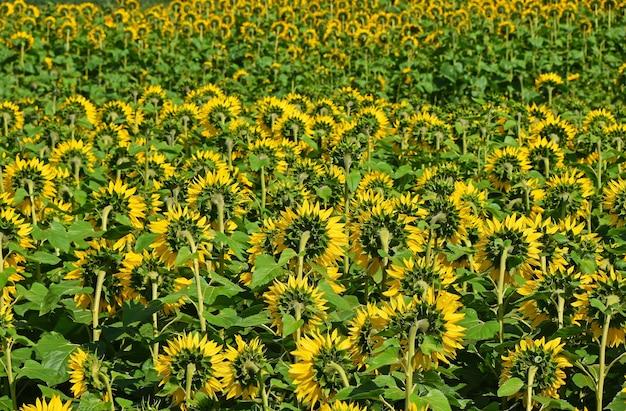 Veld van gele zonnebloemen groeien, achteraanzicht, hoge hoek