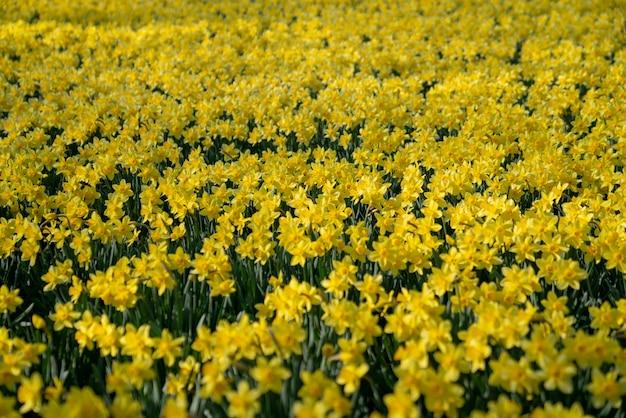 Veld van narcissen in volle bloei