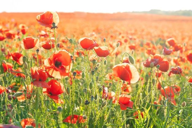 Veld van papaverrode bloemen, natuurlijke zomerachtergrond