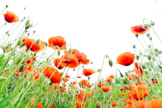 Veld van papaverrode bloemen op bleke hemelachtergrond