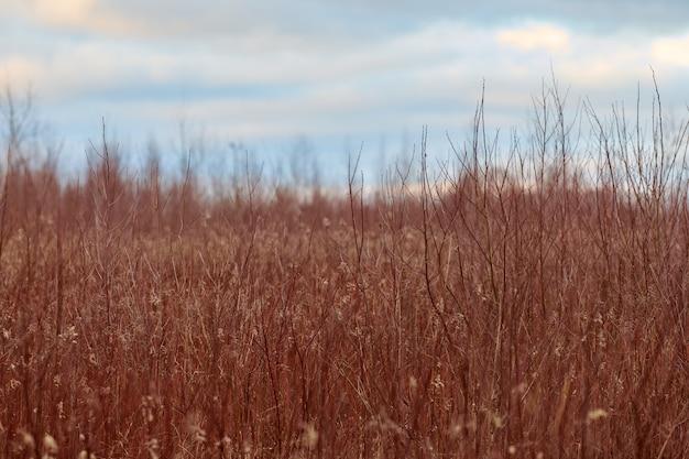 Veld van planten met lange rode stengels en pluizige witte bloemen. mooie avond platteland retro landschap bij zonsondergang.