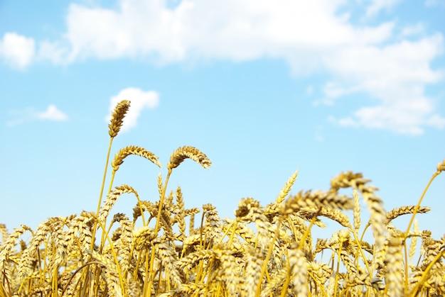 Veld van tarwe over blauwe hemel