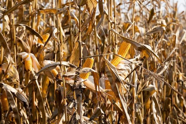 Veld waar gele gedroogde maïs wordt verbouwd