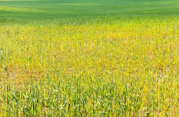Veld waar groene tarwe of rogge groeit, hoge graanopbrengst