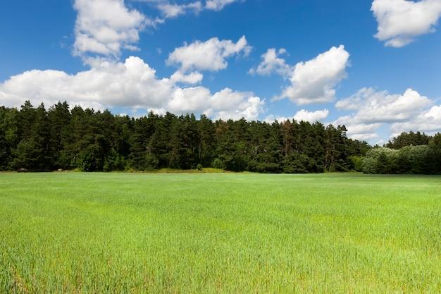 Veld waar groene tarwe of rogge groeit
