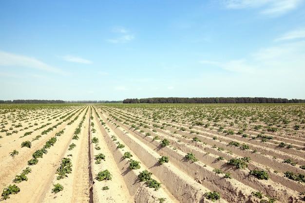 Veld waarop groene onrijpe aardappelplanten groeien. zomertijd