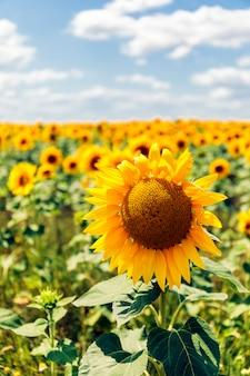 Velden met een oneindige zonnebloem