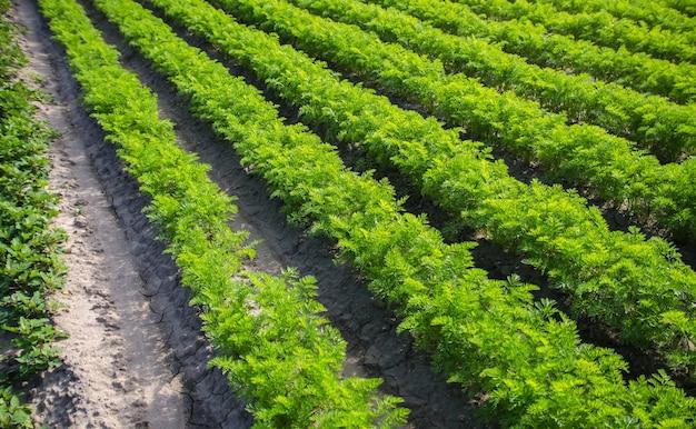 Velden rijen wortelen groenten verbouwen op een boerderij veld agro-industrie biologische landbouw