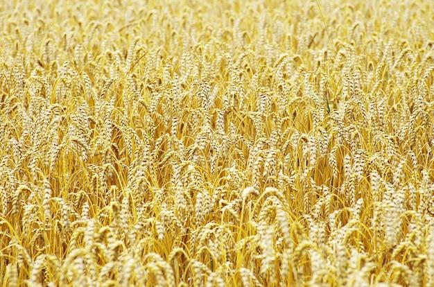 Velden van tarwe aan het einde van de zomer volledig rijp achtergrond