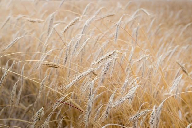 Velden van tarwe aan het einde van de zomer volledig rijp