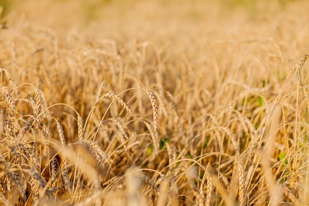 Velden van tarwe aan het einde van de zomer volledig rijp.