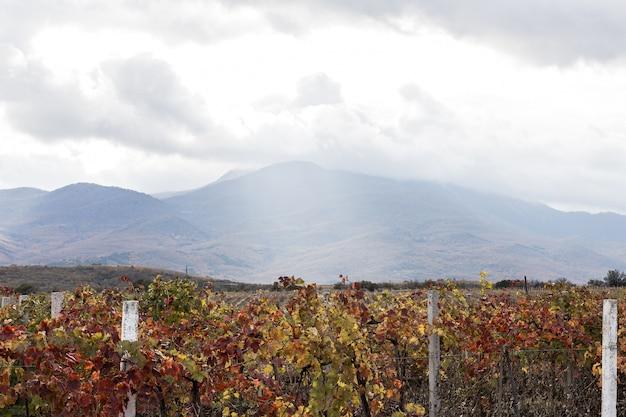 Velden van wijnstokken en bewolkte dag